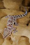 Mediterranean House Gecko (Hemidactylus turcicus), Europe