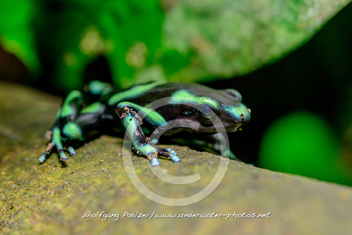 Goldbaumsteiger (Dendrobates auratus),  Schwarzgruener Pfeilgiftfrosch, Costa Rica,  Carara Nationalpark / Green and black poison dart frog (Dendrobates auratus), Costa Rica,  Carara National Park