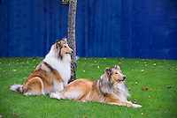 Two Rough Collie dogs, Dun Laoghaire Harbour, County Dublin, Ireland.
