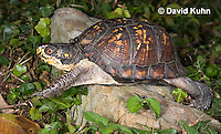1003-0810  Male Eastern Box Turtle - Terrapene carolina © David Kuhn/Dwight Kuhn Photography.