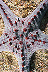 Malapascua Island, Cebu, Philippines; a Chocolate chip sea star (Protoreaster nodosus) on the sea floor