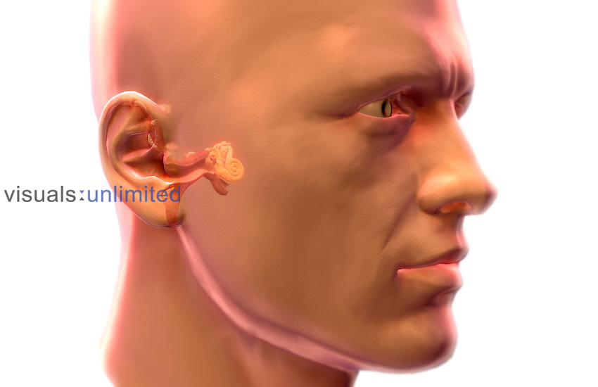 Sectional anatomy of the ear. The external, middle and inner ear are shown. Royalty Free