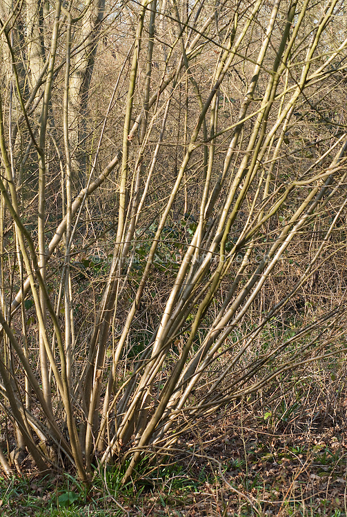 Corylus avellana - Hazelnut tree