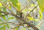 Female orange-bellied euphonia, Euphonia xanthogaster, Tandayapa Valley, Ecuador