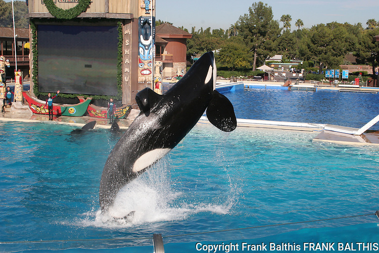 orca jumping at Sea World show