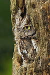 Eastern Screech Owl in Gray Phase (Otus asio), Eastern USA.