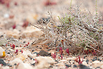 Lesser Short-toed Lark, Calandrella rufescens,Tindaya Plain, Fuerteventura, Canary Islands, Spain, by ground nest with young chicks