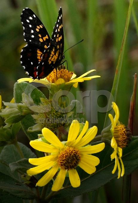Sector RB 447.mariposa en flor de sabana por identificar.inspeccion ambiental . Modificacion Licencia Ambiental Campo Rubiales.Puerto Gaitan Meta Colombia.03/06/12.08:11:53.N3°41.683'.W71°28.322'..Copyright Archivolatino Corp..