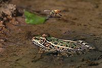 For the insect to be caught, it must be out in front of the Leopard Frog of course..<br /> So the Honey Bee got a &quot;pass&quot; this time :)