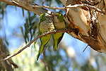 Green Lorikeets rubbing beaks sitting on branch of Eucalyptus tree.Andalucia, Sapin