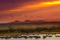 Snow Geese taking flight from the roost agaist an early dawn sky at Bosque del Apache National Wildlife Refuge in New Mexico.