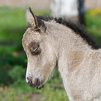 Newborn miniature donkey.  Oakley, Utah.