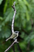 CALI - COLOMBIA, 20-06-2016: Espatulilla Comun especie de ave presente en el oeste de Cali. / Espatulilla Comun bird species present in western Cali Cali. Photo: VizzorImage/ Gabriel Aponte / Staff