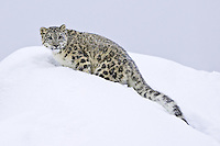 Snow Leopard standing on top of a snowy hill - CA