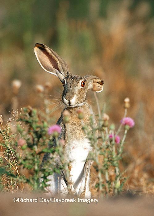 02203-004.11 Black-tailed Jack Rabbit (Lepus californicus)  Starr Co. TX