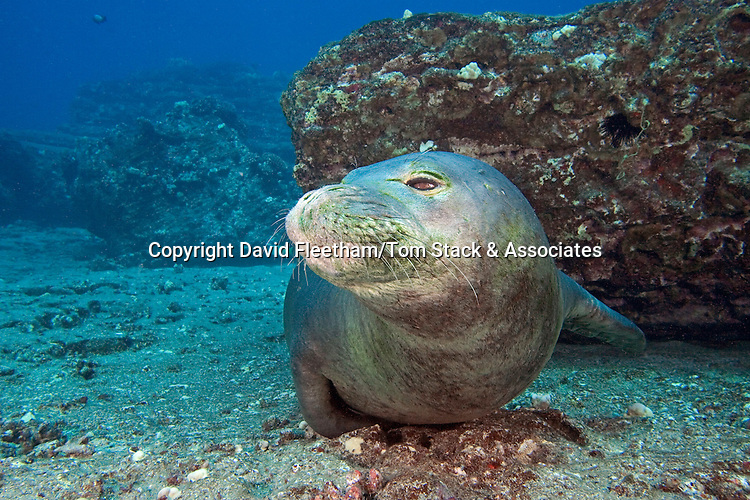 Underwater encounters with Hawaiian monk seals, Monachus schauinslandi, (endemic and endangered) are few and far between.  Hawaii