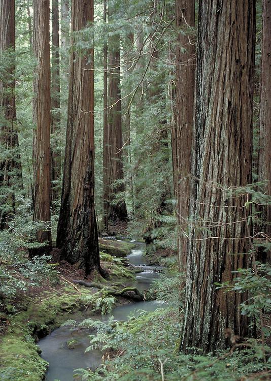 Redwood grove in Montgomery Woods in Mendocino County California