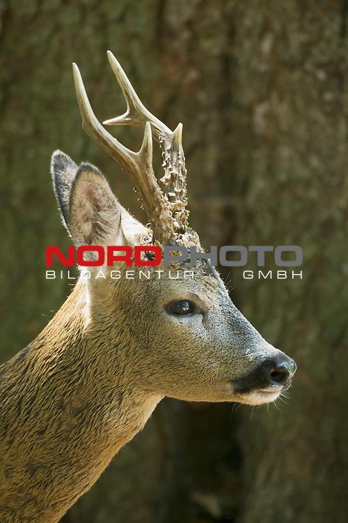 Reh, (lat. capreolus capreolus), Rehbock, Jagd, Saeugetier, im Sommerhaar, im Wald, Blattzeit, Potrait, GehŲrn, <br /> <br /> Foto: nordphoto *** Local Caption *** Original Naturfoto - hŲhere AuflŲsung auf Anfrage - Dig. Foto