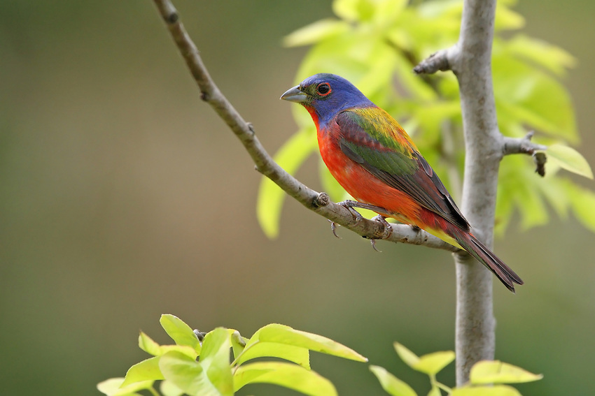 Painted Bunting male in Spring.