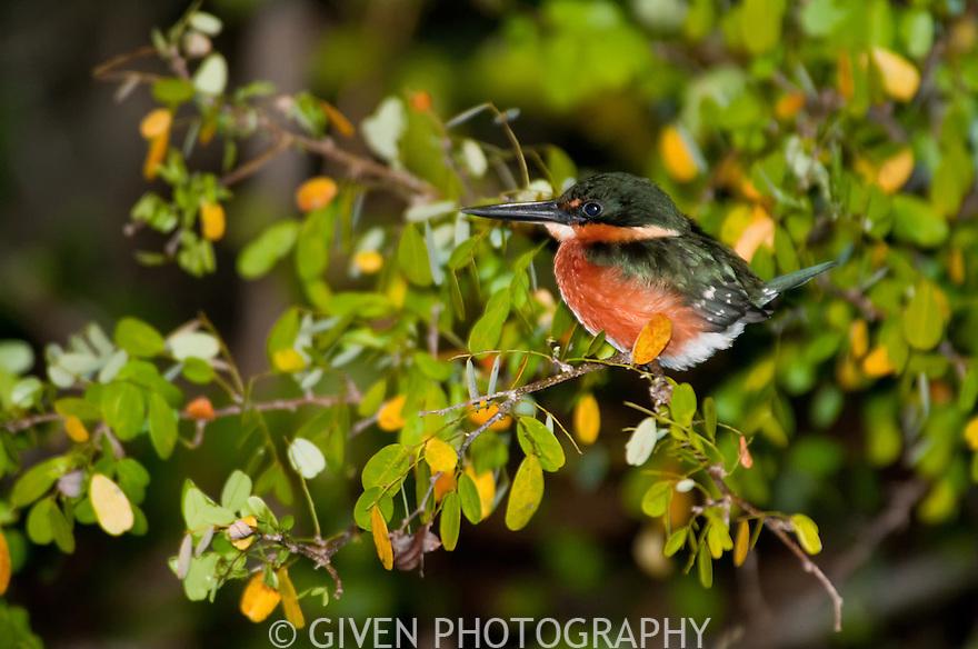 American Pygmy Kingfisher in Belize