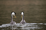 Lake Hodges, Escondido, San Diego, California; a pair of Western Grebe (Aechmophorus occidentalis), with breeding plumage, mirroring eachother's movements as part of a courtship behavior