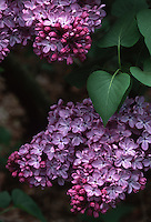 Syringa vulgaris Georges Bellair' Common Lilac, lavender purple red closeup of blooms