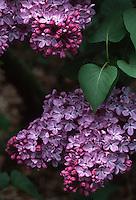 Syringa vulgaris Georges Bellair' Common Lilac, lavender purple red closeup of blooms