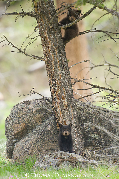 A black bear cub climbs a tree in Yellowstone National Park, Wyoming, while its sibling stands alertly at the trunk's base.