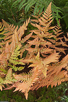 Dryopteris erythrosora Brilliance (Autumn Fern)