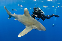 oceanic whitetip shark, Carcharhinus longimanus, with pilot fish, Naucrates ductor, and scuba diver, Columbus Point, Cat Island, Bahamas, Caribbean Sea, Atlantic Ocean