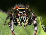 Colorful Jumping Spider on a green leaf.