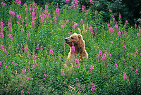 Coastal brown bear in fireweed patch, Karluk Lake region, Kodiak Island, Alaska.