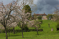 France, Orne (61), Pays d'Auge, Camembert, Manoir de Beaumoncel et  Pommiers en fleurs // France, Orne, Pays d'Auge, Camembert, Beaumoncel Manor and flowering apple trees