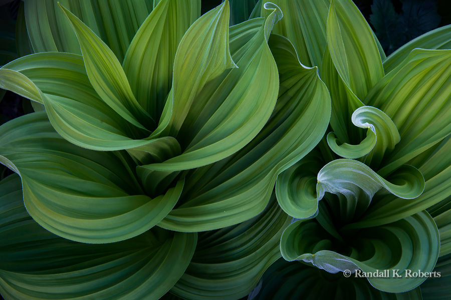 Corn lily leaves, Elk Mountains, Colorado.