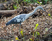 Second-year little blue heron molting to adult plumage in July