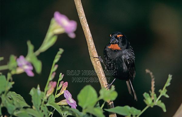 Greater Antillean Bullfinch, Loxigilla violacea, male, Rocklands, Montego Bay, Jamaica, Caribbean
