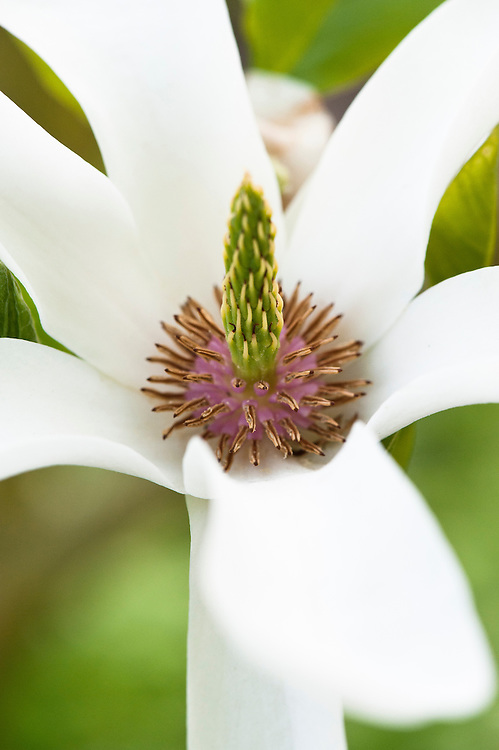 Magnolia x soulangeana 'Alba'. Close-up of flower, mid April.