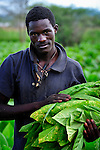A man farms tobacco in Dofu, an area in northern Malawi which has been hit hard by drought and hunger. Tobacco is a cash crop for many families in the area, yet falling tobacco prices, coupled with food crops diminished by drought, have made it hard for many families to survive.