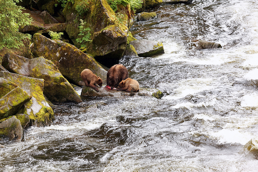 Two coastal brown bear cubs beg for salmon from their mother on shore of Anan Creek, Anan Wildlife Observatory, Tongass National Forest, Southeast, Alaska