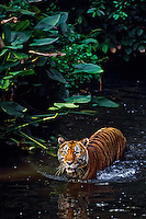 Sumatran Tiger (Panthera tigris sumatrae) wading in shallow tropical rainforest stream.