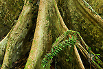 Meranti (Dipterocarpaceae) tree buttress root in lowland rainforest, Danum Valley Conservation Area, Sabah, Borneo, Malaysia