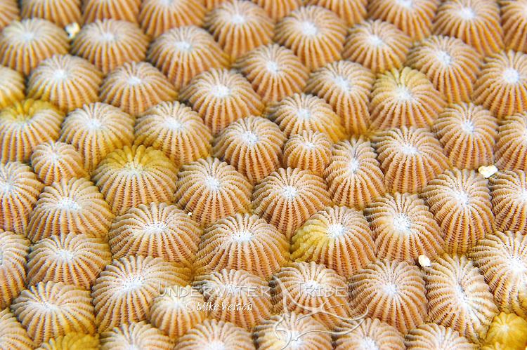 Diploastrea heliopora hard coral, Yap, Micronesia, Pacific Ocean