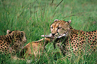 615004061 a mother and young cub acinonyx jubatus feed on a thompsons gazelle on an open plain in masai mara reserve in kenya