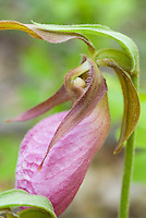 Native American wildflower orchid Cypripedium acaule Pink Ladyslipper