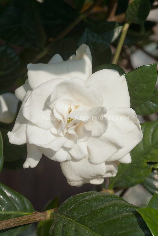 Gardenia jasminoides 'Leeone'  aka Jubilation in white fragrant flower