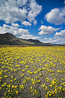 Yellow Tansy-leaved Evening Primrose and Steens Mountain. Oregon