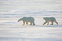 01874-14304 Polar Bears (Ursus maritimus)  in Cape Churchill Wapusk National Park,  Churchill, MB Canada