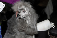 Grey Pudel, sitting on a grooming table, photographed from front, Pudel looking to the side. Photographed during the international dog show in Prague, Europe - May 2014.