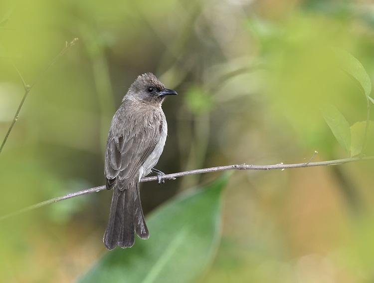 Common Bulbul - Pycnonotus barbatus