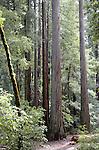 coast redwoods at Big Basin State park